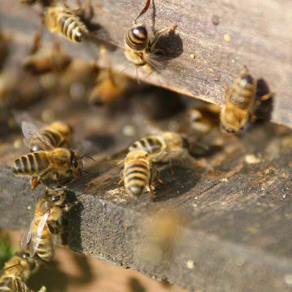 Bee Pest Control and Bee Hive Removal